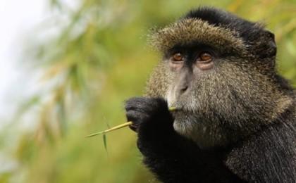 3 Days Gorilla Tours and Golden Monkey