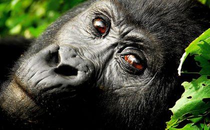 Flying Gorilla Trekking Tour