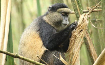 Rwanda Uganda Gorilla safaris
