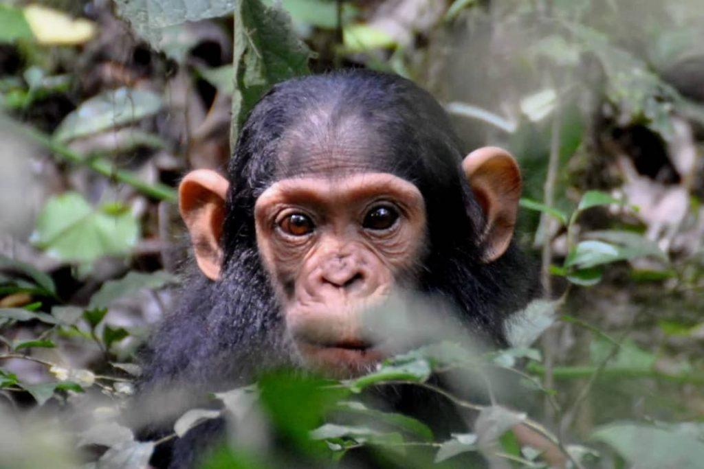 Discover chimpanzee in Kibale on 6 days Uganda safari