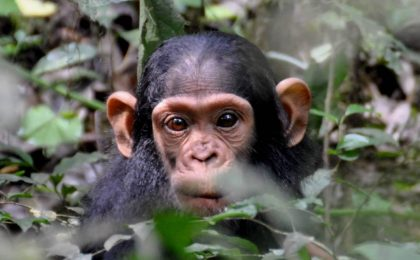 Primate Habituation Experience Uganda