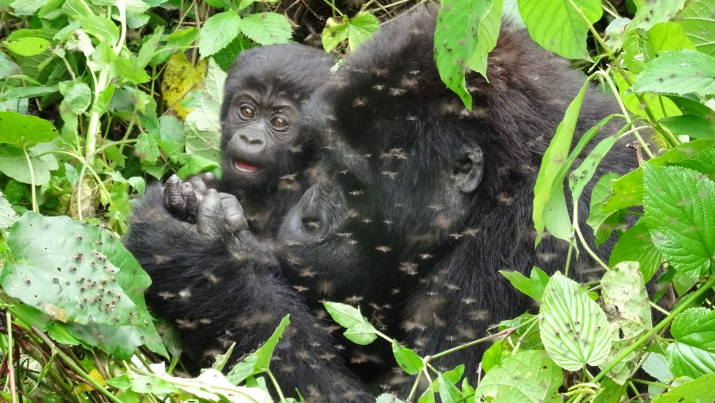 Rwanda Gorillas Tours &  Golden Monkeys