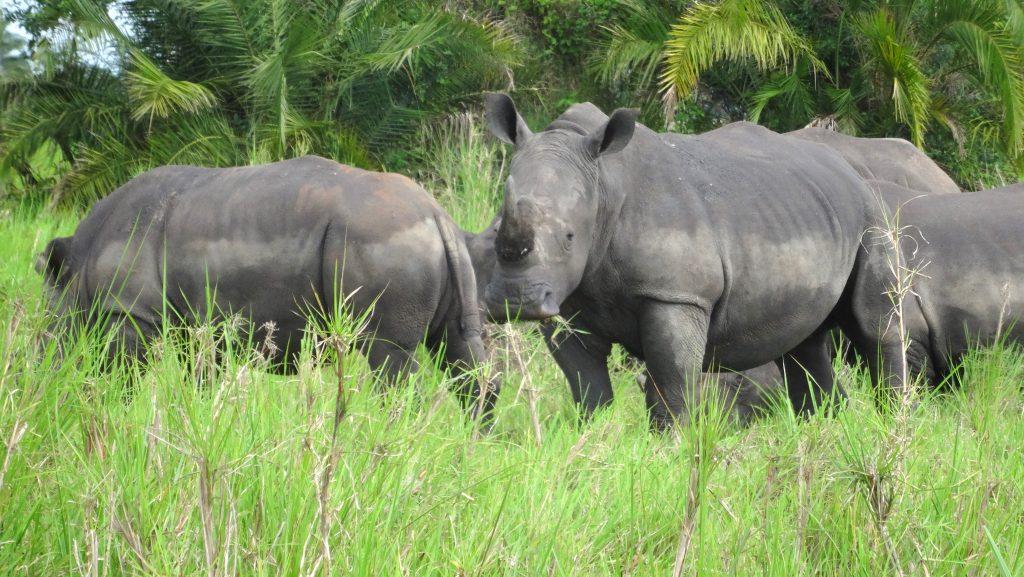 Uganda Safari Habituation Experience