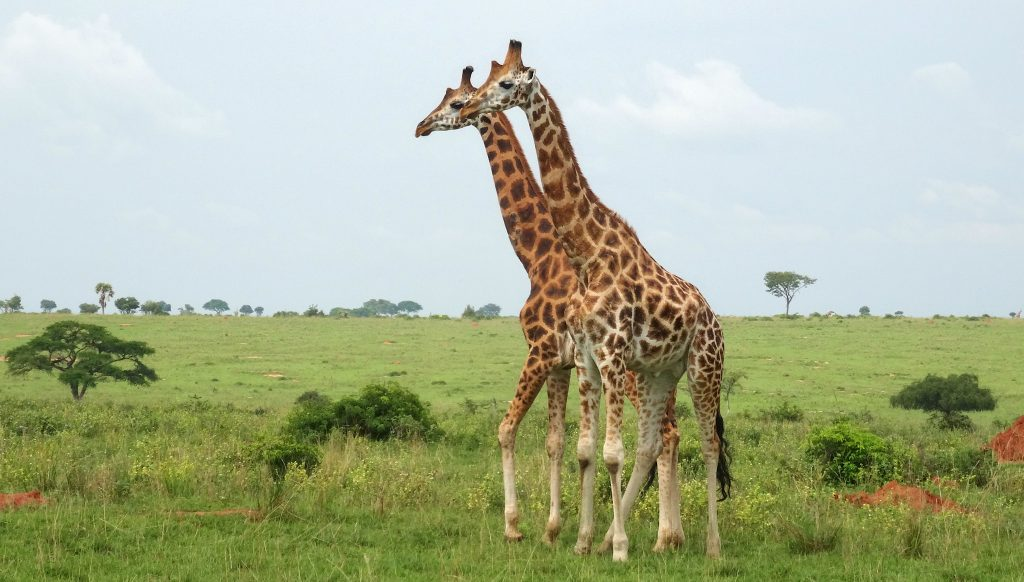 Africa Primates Safari Tours - Rwanda Gorilla Safari