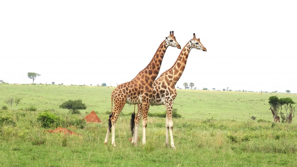 13 Days Best of Uganda Safaris
