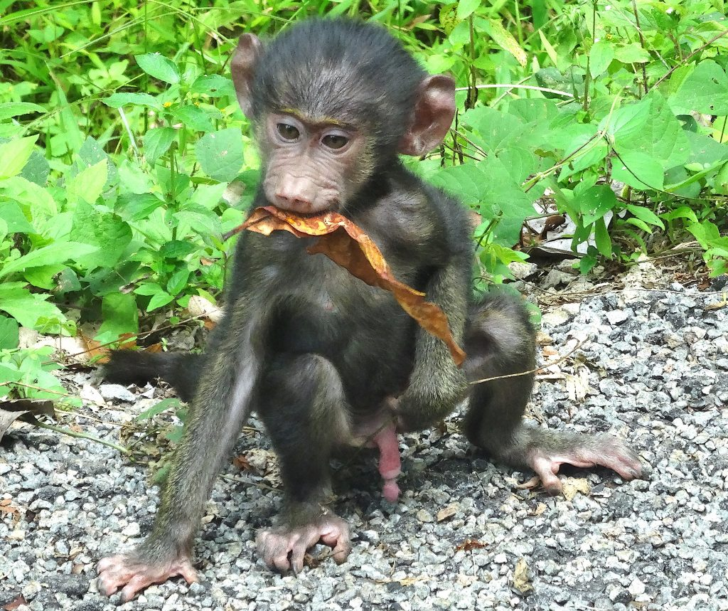 3 Days Discover Chimpanzee in Kibale - Short Uganda Safaris