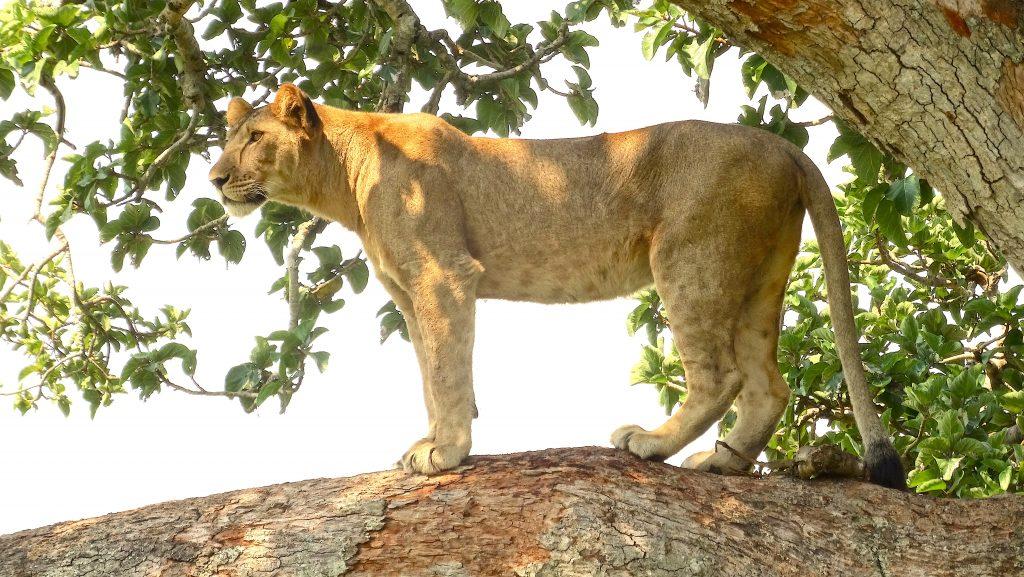 13 Days Best of Uganda Safaris