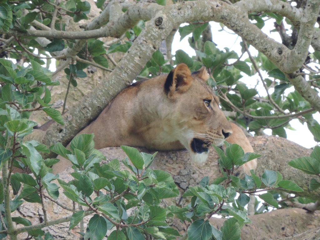 10 Days Uganda Primate Safari