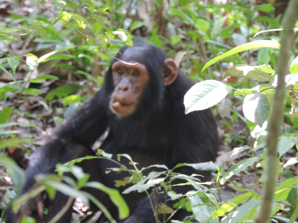 3 Days Chimpanzee tracking Safari