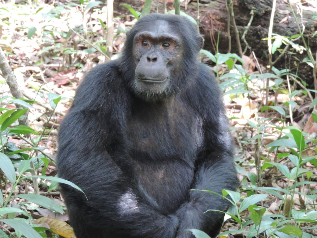 3 Days Discover Chimpanzee in Kibale