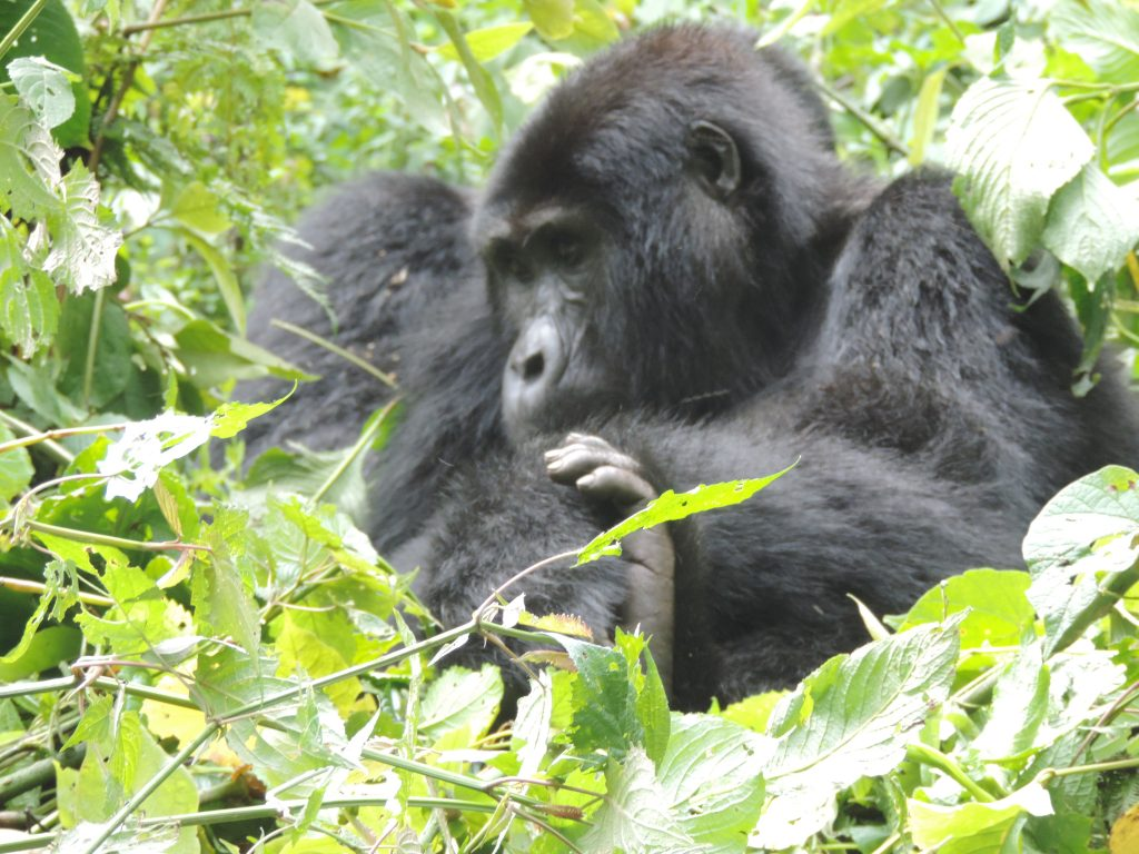 7 Days Gorilla Habituation Experience in Uganda