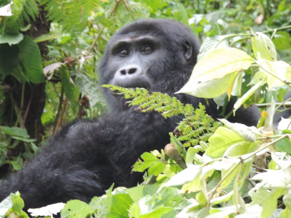 Mountain Gorilla Safari Uganda