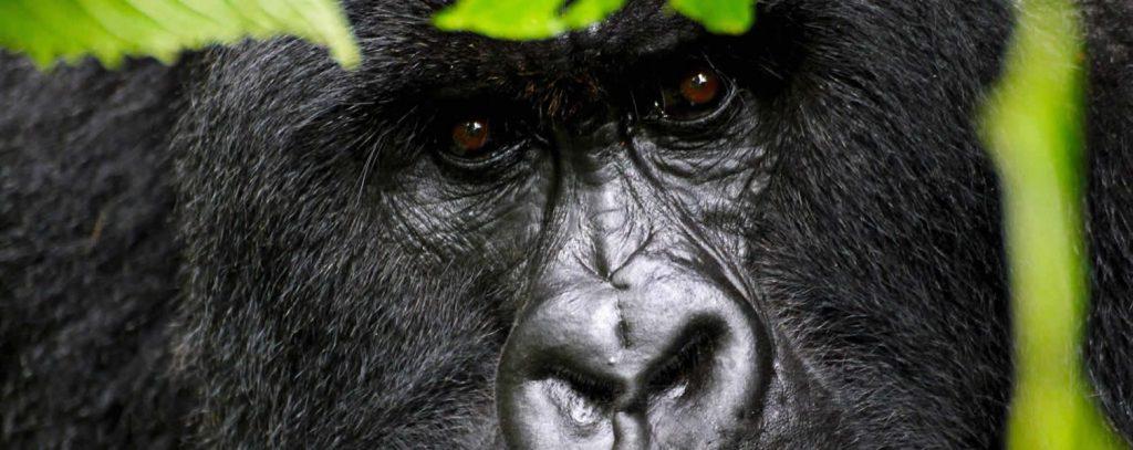 How get Gorillas Permit