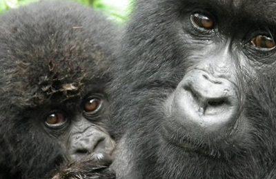 6 Days Lowland Gorilla Trekking