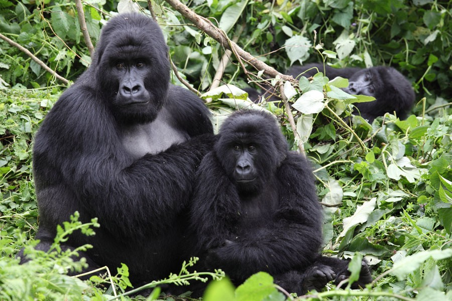 8 Days Luxury Gorilla Trekking Safaris