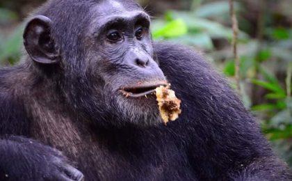 3 Days Discover Chimpanzee Kibale