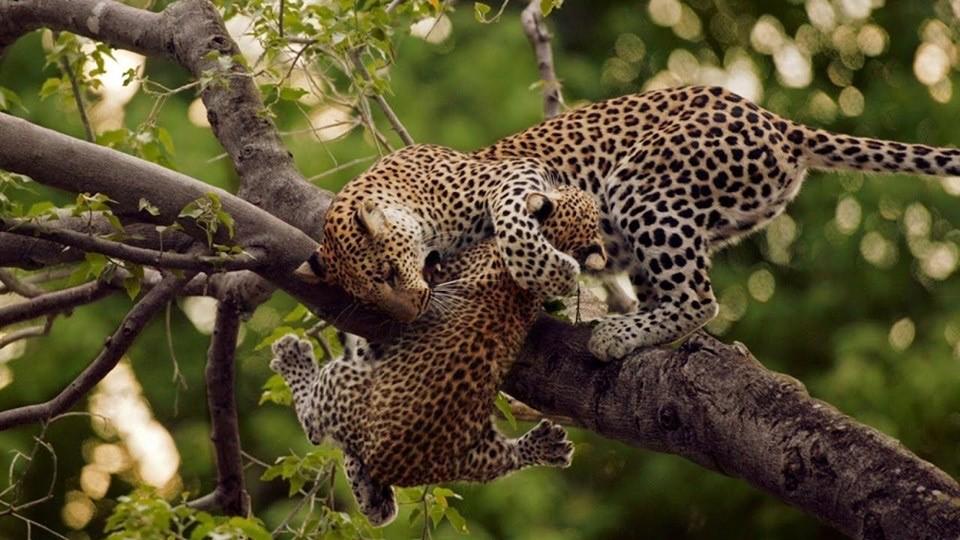 Tree climbing lion - Best Selling Uganda Safaris