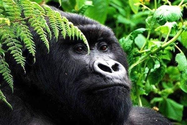 9 Days Best Of Rwanda Safaris  Rwanda gorilla tours, Dian fossey in Rwanda