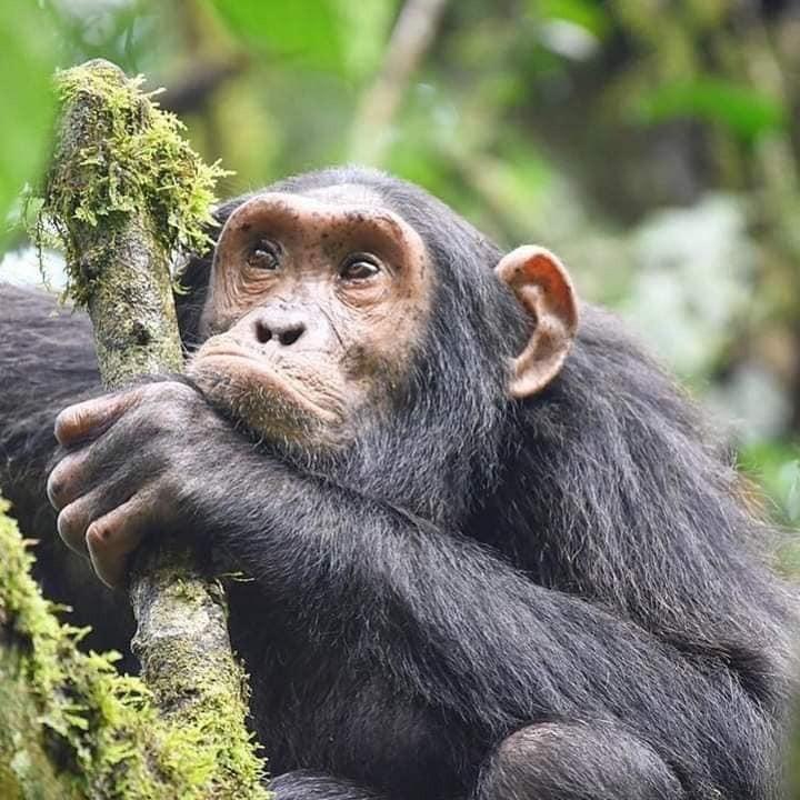 7 Days Gorilla Habituation Experience in Uganda