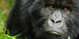 4 days Flying Gorilla safaris