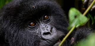 4 Days Lowland Gorilla trekking
