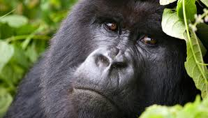 5 Days Gorilla Trekking in Congo