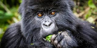 Uganda Safaris Gorilla & Chimpanzee