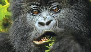 2020 /2021 Best Gorilla trekking