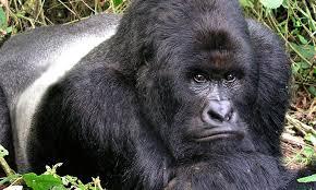 Rwanda Congo Gorilla Trekking Safaris