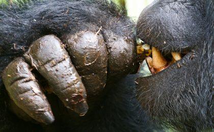 Uganda Rwanda Gorilla Safari