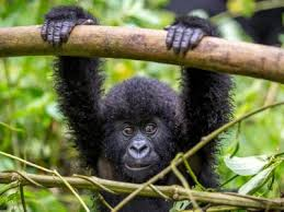 8 Days Luxury Gorilla Trekking Safaris