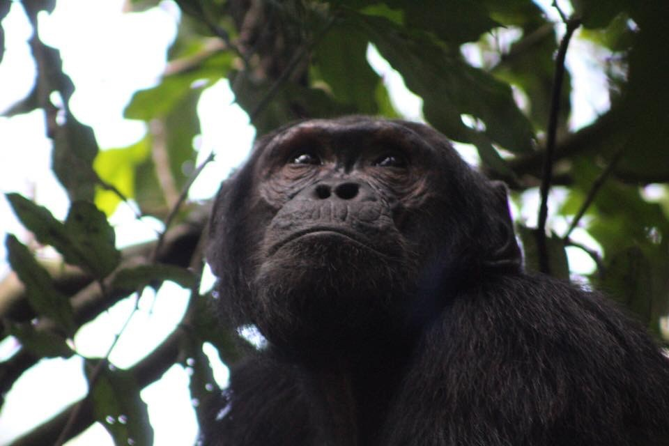 Discover Chimpanzee tracking Safaris