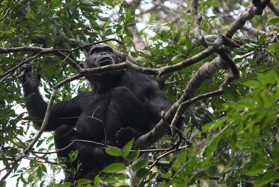 top Uganda Safari Packages, Discover Chimps in Kibale