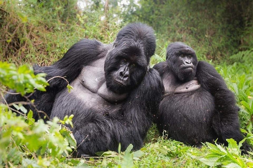 where to trek Gorillas in Africa