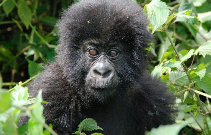 9 Days Gorillas Combined