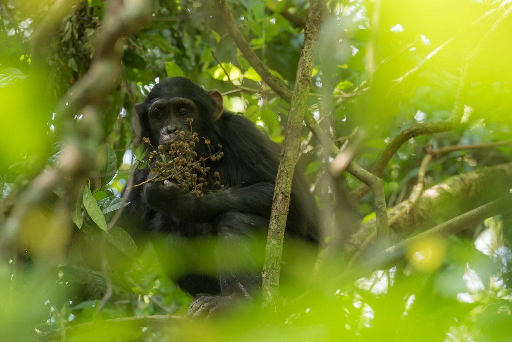 How intelligent are chimpanzees?