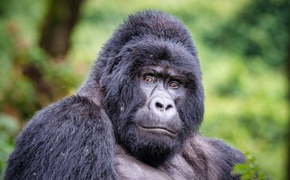 How tall are silverback gorillas