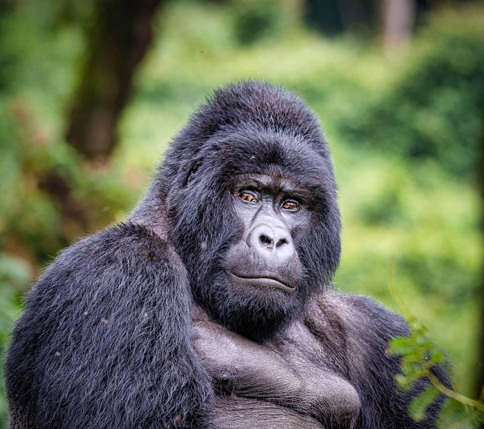 Silverback gorilla weight