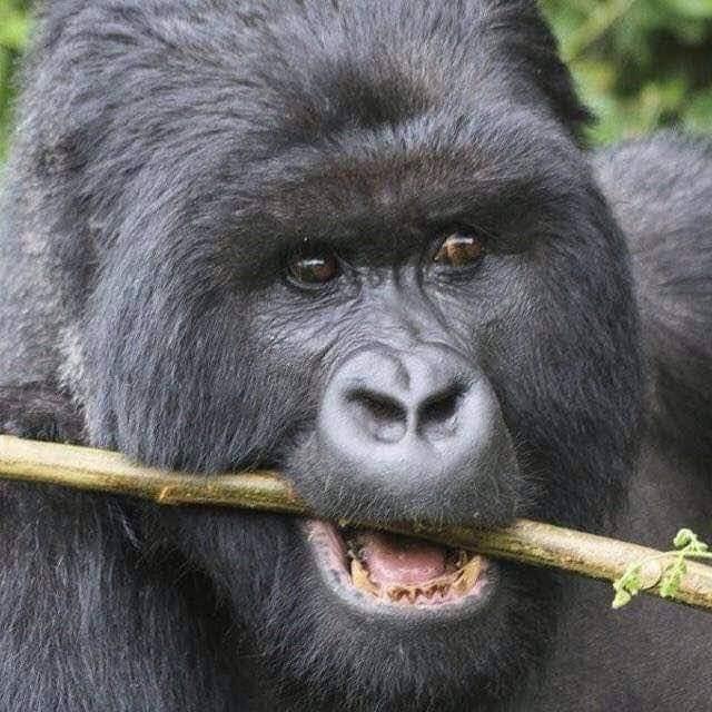What Do Mountain Gorillas Eat