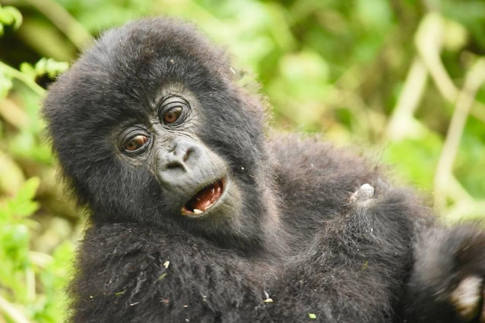 why do gorillas beat their chest