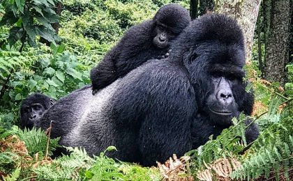 How long do silverback gorillas live