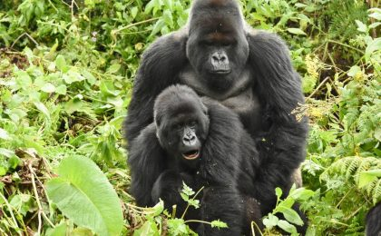 How Do Gorillas Mate?